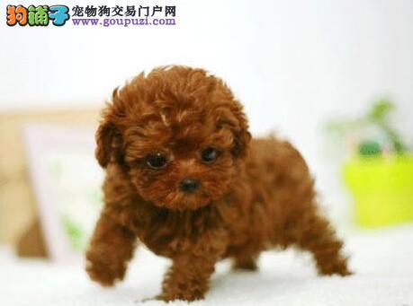 武汉纯种可爱泰迪熊包健康包纯种出售可签协议欢迎上门4