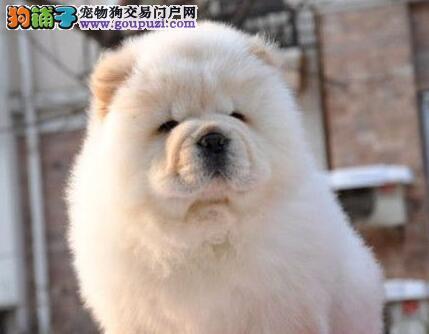犬舍低价热销 松狮血统纯正爱狗人士优先