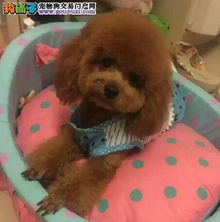 深圳极品泰迪熊犬专属家养繁殖直销可加微信送狗用品