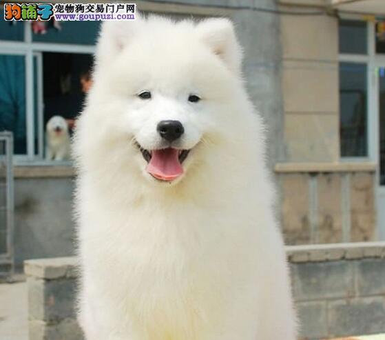 北京售纯种萨摩耶 萨摩幼犬 微笑天使幼犬公母全有