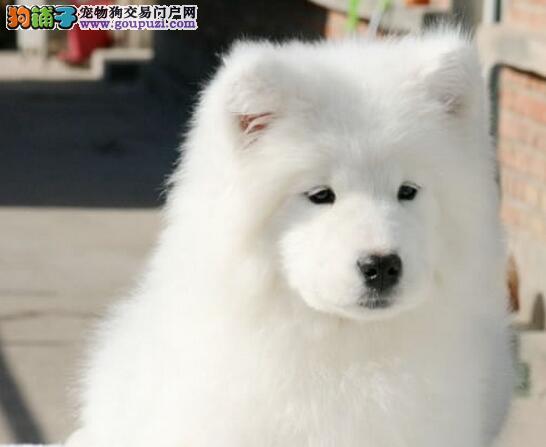 上海售萨摩耶幼犬微笑天使 小萨 母狗