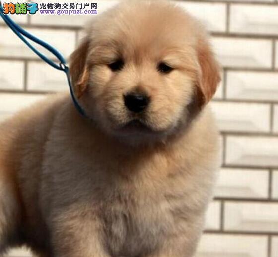 火爆低价出售金灿灿的包头金毛犬 可随时视频看狗
