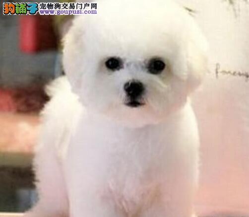 济南售棉花糖般的比熊幼犬纽扣眼毛量足小体白色粉扑