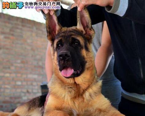 广州专业锤系德牧基地常年出售锤系幼犬
