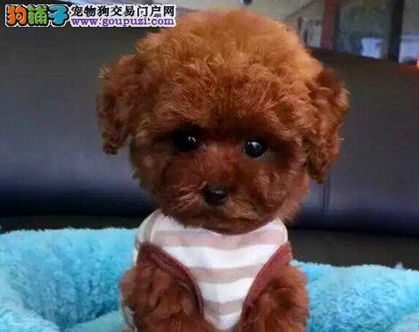 专业出售成都泰迪犬品质高品相好有证书