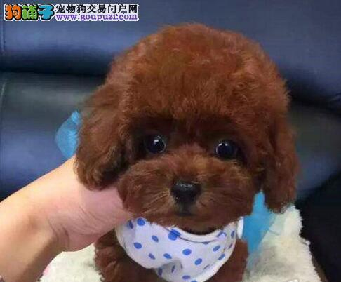 镇江养殖场转让纯种泰迪犬疫苗齐全包养活