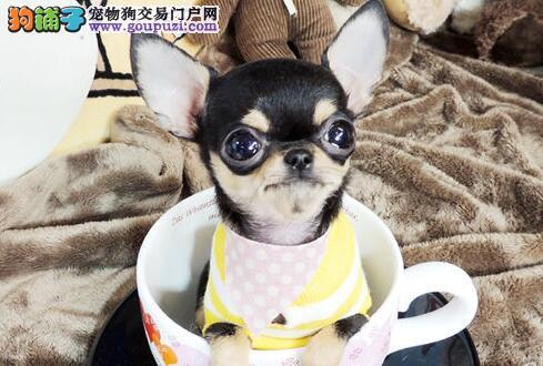 家养吉娃娃 可看狗爸狗妈 纯种 广州当面交易