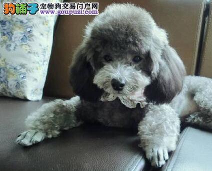 出售自家繁殖纯种贵宾犬 多色可选 包健康售后 高智商