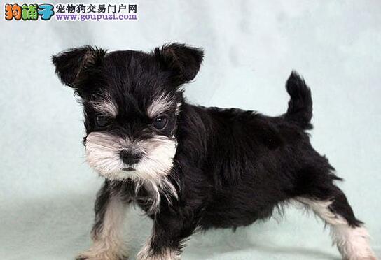 纯种犬舍出售超可爱活泼的雪纳瑞宝宝