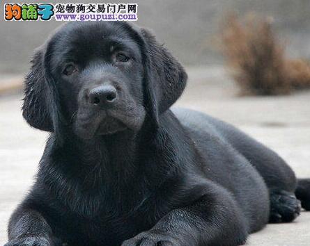 大型狗场直销宁波拉布拉多犬 国外赛级冠军血统纯度高