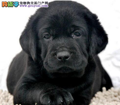 温州专业繁殖出售精品拉布拉多犬 颜色齐全同城可送货