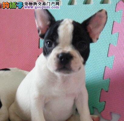 上海高品质法国斗牛犬 血统纯正 保证健康 完美售后