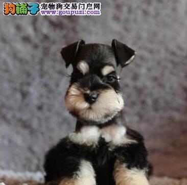 杭州正规犬舍出售椒盐色雪纳瑞 可签订购犬协议