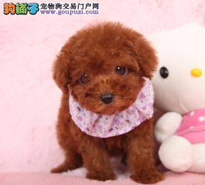 广州出售泰迪犬 纯种健康茶杯泰迪幼犬签协议可见父母3