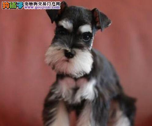 南京售高品质雪纳瑞幼犬 小雪老头狗出售疫苗齐全