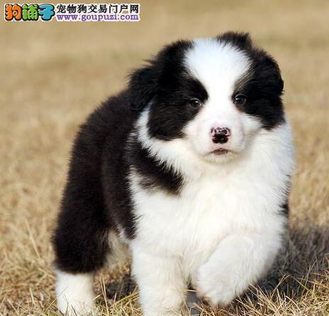 西安实体店热卖边境牧羊犬颜色齐全质量三包多窝可选