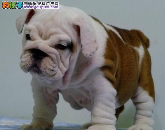 广州买纯种英牛 英国斗牛犬多少钱斗牛犬健康质保90天