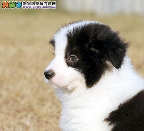 广州售纯种边牧犬 边境牧羊犬疫苗驱虫已做