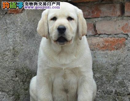 西安拉布拉多犬养殖基地出售纯种拉拉幼犬神犬小七