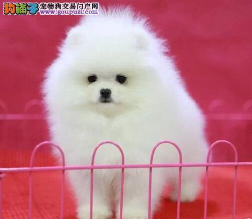 自家繁殖博美犬出售公母都有签订三包合同