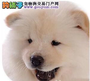西安出售极品松狮幼犬完美品相可直接视频挑选