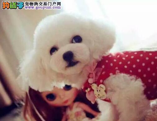 深圳犬舍出售泰迪犬幼犬 品相极佳 纯种健康