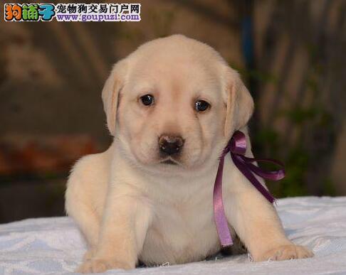 温州出售神犬小七拉布拉多奶白色咖啡色黑色拉拉犬