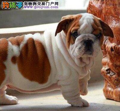 郑州出售赛级英牛 英国斗牛犬 超级憨厚可爱 附近可送