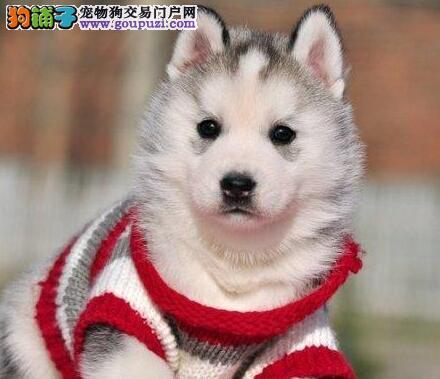 广州售极品西伯利亚雪橇犬 哈士奇幼犬品相极佳脾气好