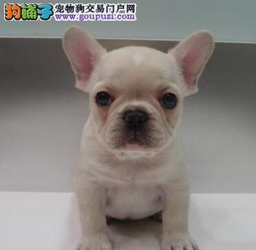 西安自家繁殖法国斗牛犬出售公母都有三针疫苗齐全3