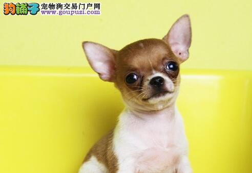 出售超可爱的小体苹果头温州吉娃娃幼犬 狗贩子勿扰