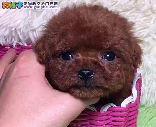 乌鲁木齐狗狗繁殖中心出售韩系泰迪犬 血统纯正