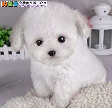 正宗极品天津泰迪犬绝对血统纯正购犬可签协议