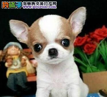 墨西哥高品质吉娃娃低价格出售上海专业繁殖买吉娃娃犬
