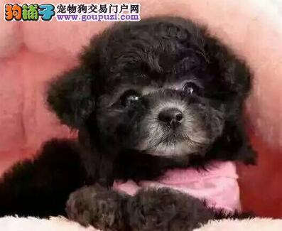 西安基地出售精品泰迪犬 售后有保障签订活体