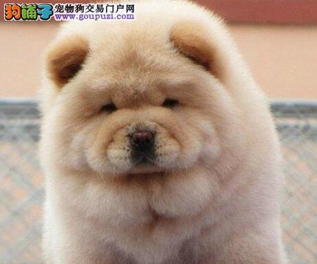 出售自家繁殖纯种松狮幼犬 昆明市内免费送货上门