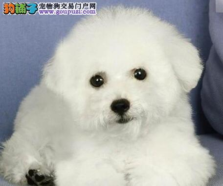 安阳精品比熊犬转让纽扣眼纯白色法系比熊幼犬玩具犬