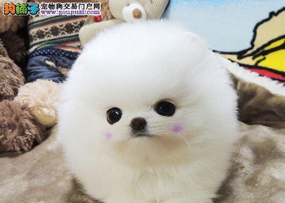 深圳家庭繁殖哈多利博美犬可爱俊介犬公母都有可看父母