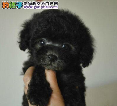 转让可爱南京泰迪犬 已做好进口疫苗驱虫做齐