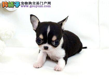 天津售袖珍犬苹果头金鱼眼纯种超小吉娃娃 保证成犬3斤