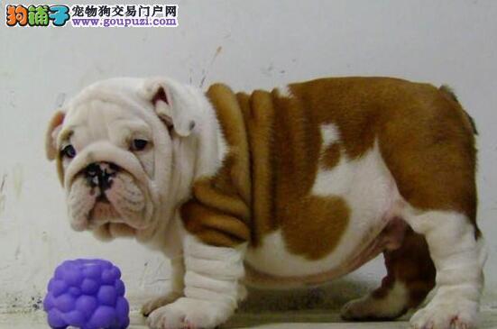亲切敦厚石家庄斗牛宝宝大促销 买狗有福利 诚信交易2