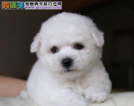 广州出售赛级比熊犬纽扣眼纯白色无泪痕不掉毛好养活