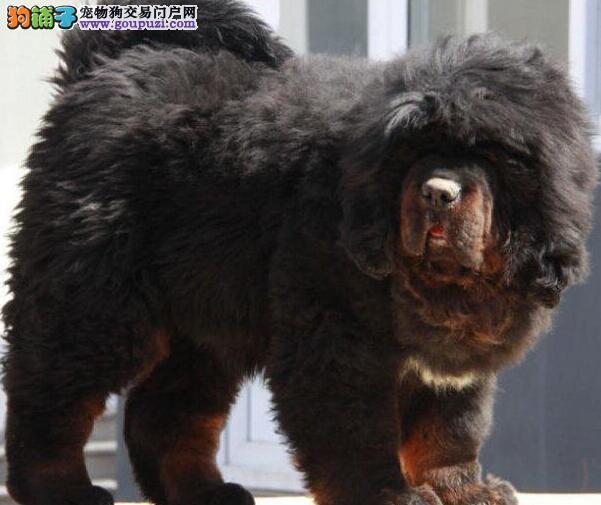 赛级品质藏獒幼犬出售 成都地区最低价品质最高2