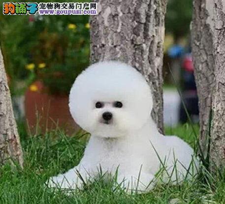 介绍一下比熊犬毛发梳理的方法及其要领