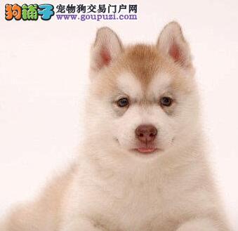 哈士奇幼犬在成长中必须要经历的三道关卡