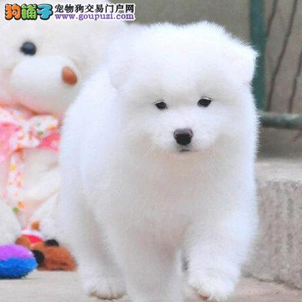 出售纯种微笑的萨摩狗狗 萨摩照片 萨摩纯种交易