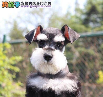 南宁正规犬业售血统纯正的雪纳瑞 速来选购幼犬