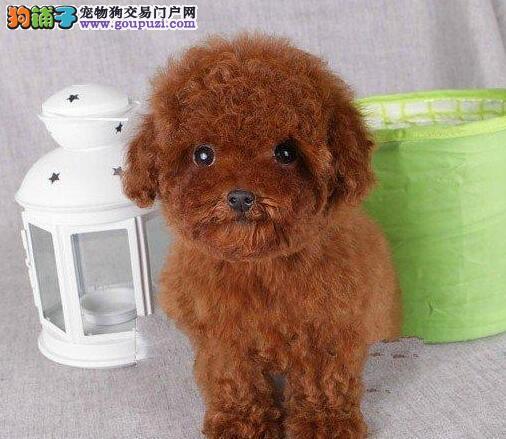 北京正规犬舍高品质泰迪犬带证书微信看狗真实照片包纯