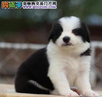 广州售纯种健康边境牧羊犬幼犬边牧犬公母全有