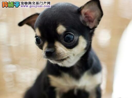 纯种墨西哥吉娃娃出售 苹果头大眼睛 相貌标致体态优美